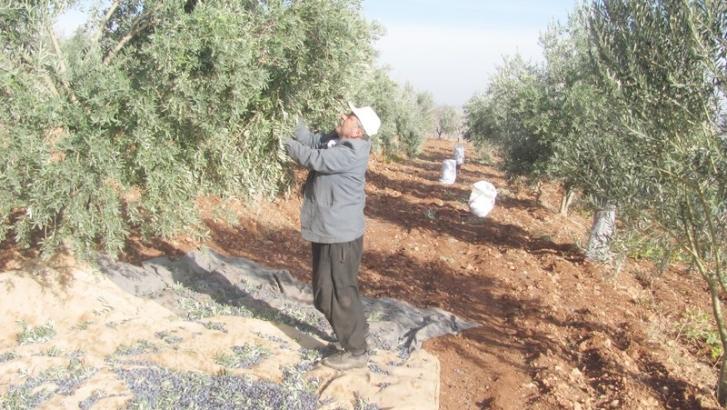 Araban'da zeytin hasadı başladı