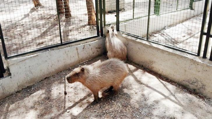 Dünyanın en iri kemirgenine Gaziantep'te yoğun ilgi